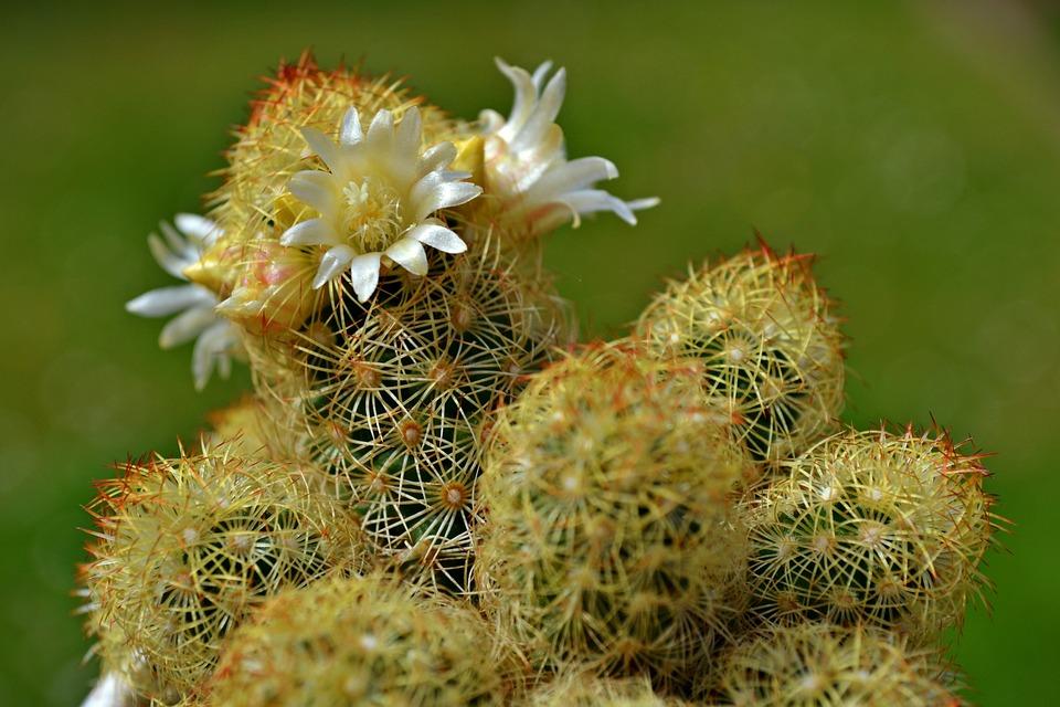 Cactus, Cactus Flowers, White Flowers, Spring, Nature