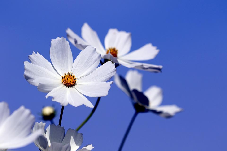 Cosmos, Flowers, White Flowers, Petals, White Petals