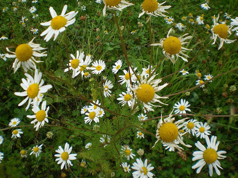 Free photo white flowers daisies petals centre yellow daisy max pixel daisy flowers daisies white petals yellow centre mightylinksfo