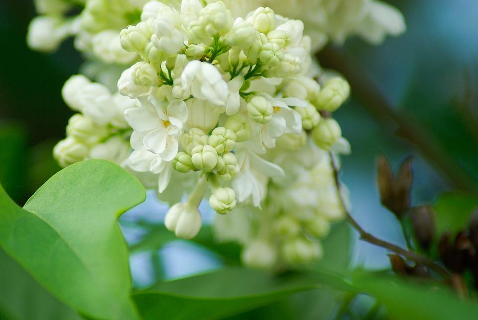 Flower, Lilac, White Flowers, Garden