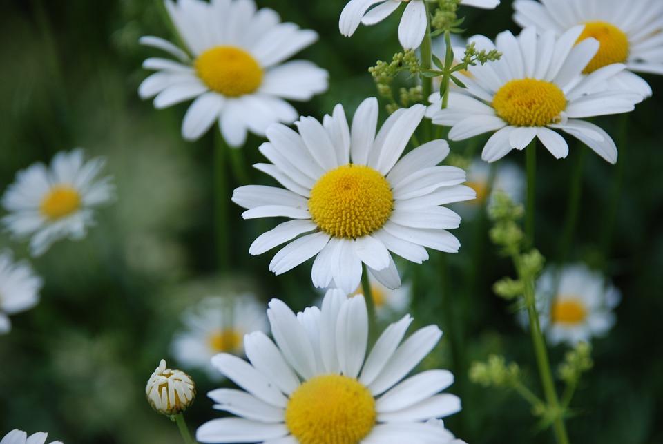 Free photo white flowers flower yellow center chamomile summer max chamomile flower summer yellow center white flowers mightylinksfo
