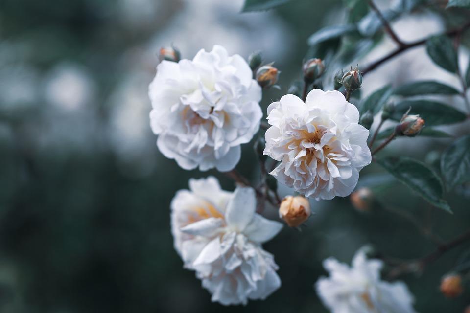 Flowers, White Flowers, Bloom, Blossom, Petals