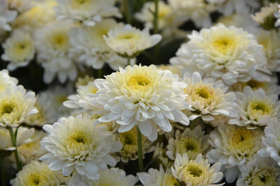 Free photo white flowers flowers fall white chrysanthemums max pixel white flowers white chrysanthemums flowers fall mightylinksfo
