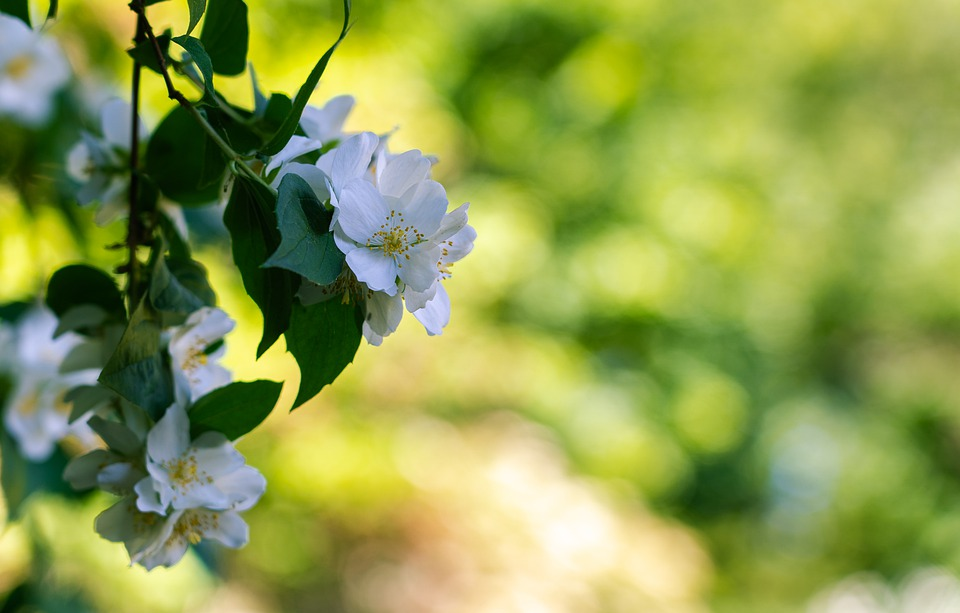 Rose, Climbing Rose, Guirlande D'amour, White, Flowers