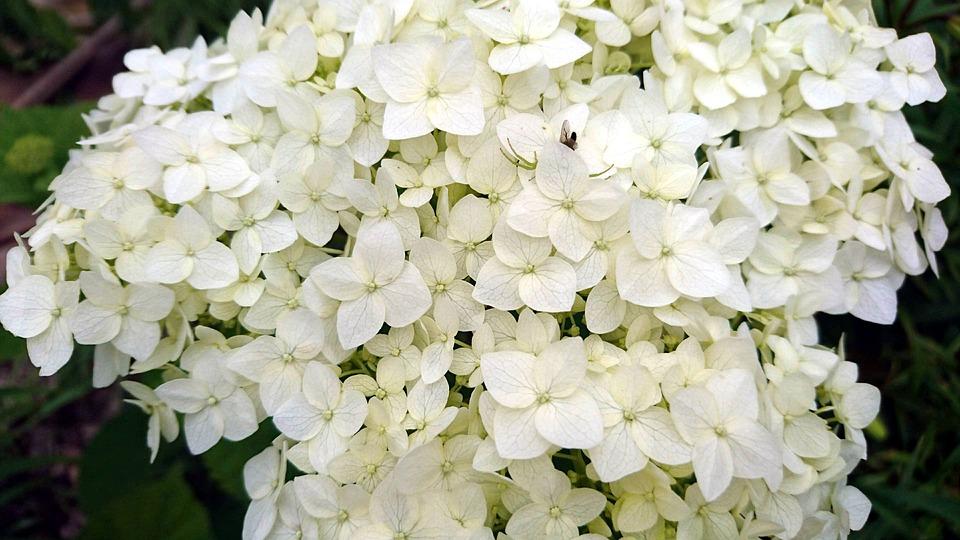 Hydrangea, White Hydrangea, Flowers, White Flowers