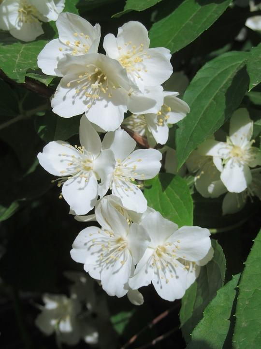 Jasmine, White Flowers