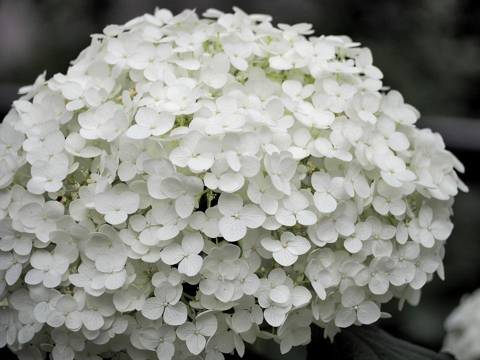 Hydrangea, White Flowers, Plant, Flowers