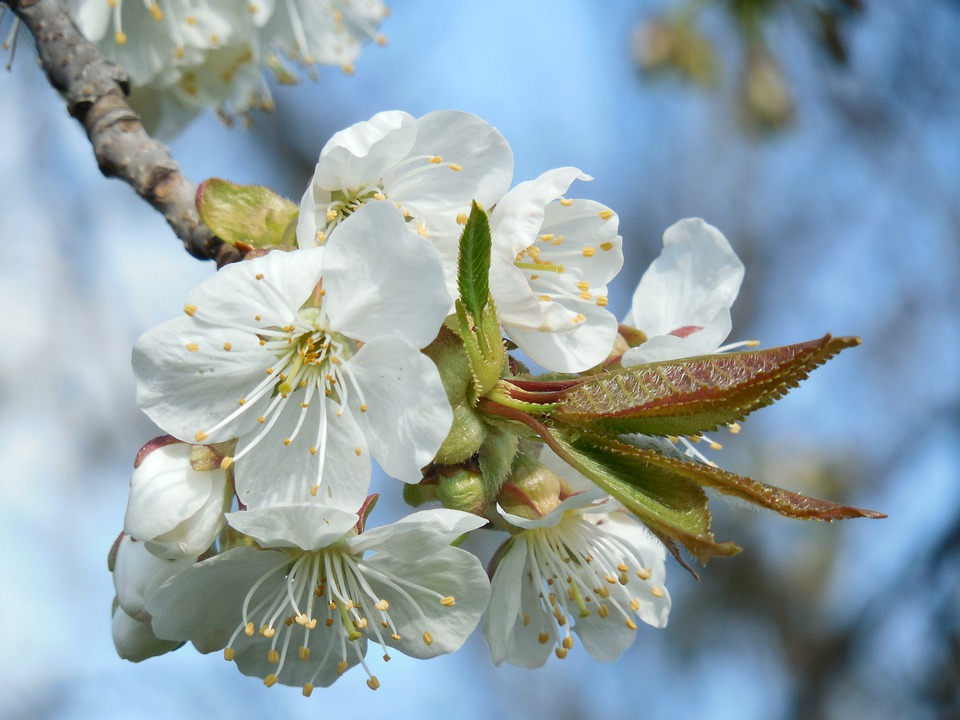 Blossoming Cherry, White Flowers, Branch, Sky, Spring