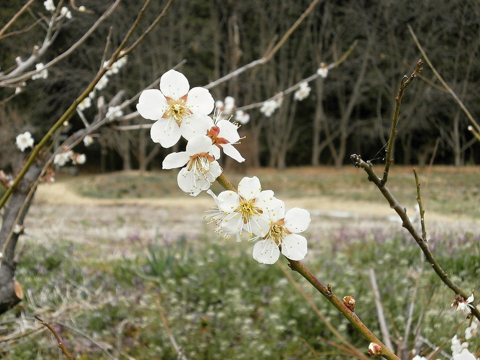 Plum, Plum Blossoms, Spring, White Flowers