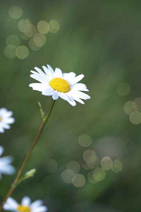 Daisies, Flowers, White, White Flowers