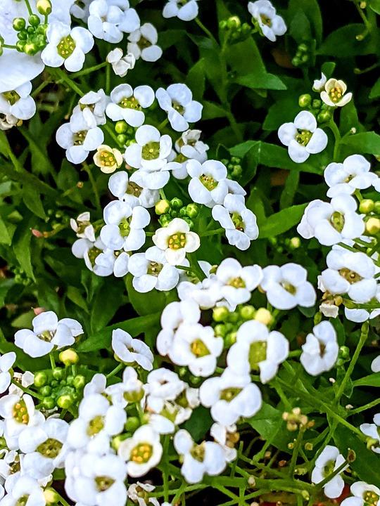 Daisies, White Flowers, Flowers, White