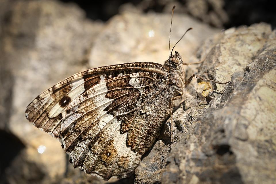 White Forest Porter Brintesia, Aulocera, Butterfly