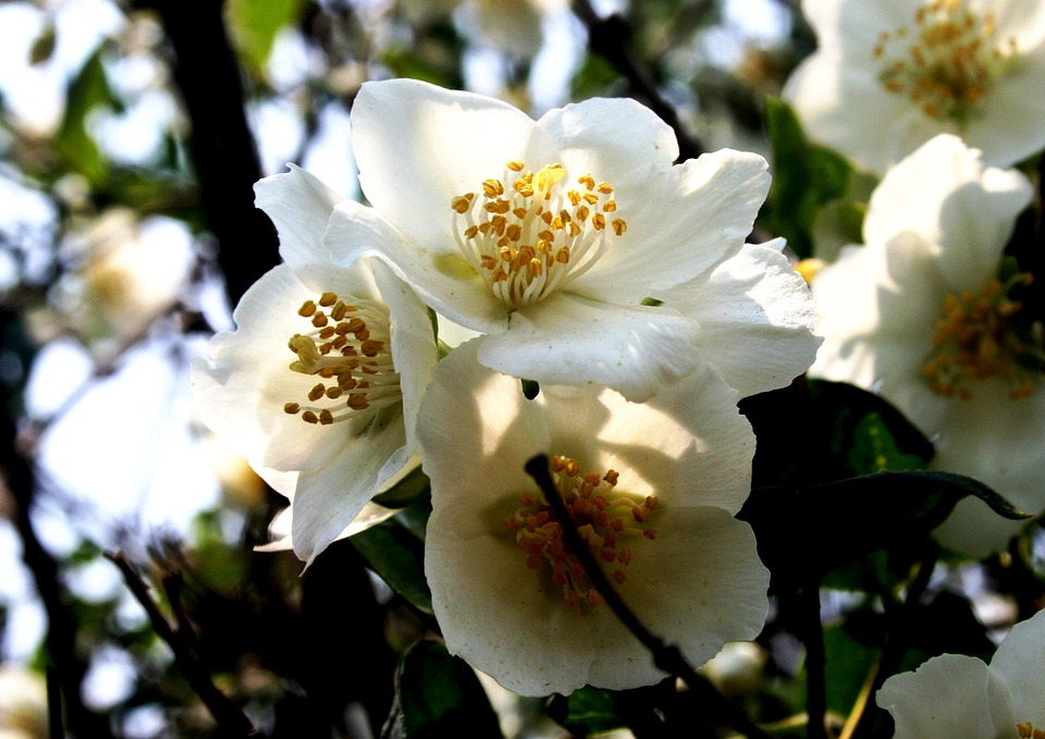 Blossoms, Fruit, White, Delicate, Dainty, Stamen
