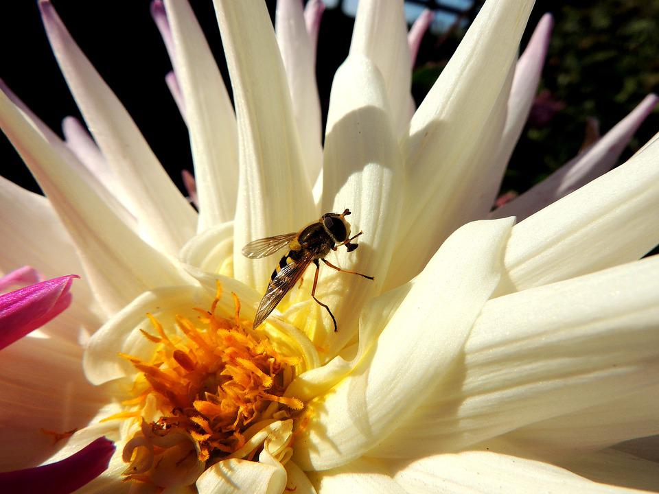 Fruit Fly, Insect, Flower, White, Petals, Bug, Garden