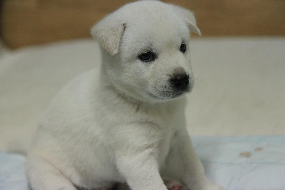 Korean Jindo, Dog, Puppy, White Fur