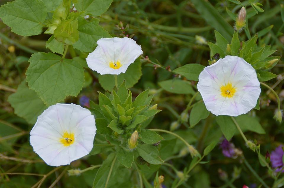 Vetch, White, Flowers, Garden, Bloom, Flora