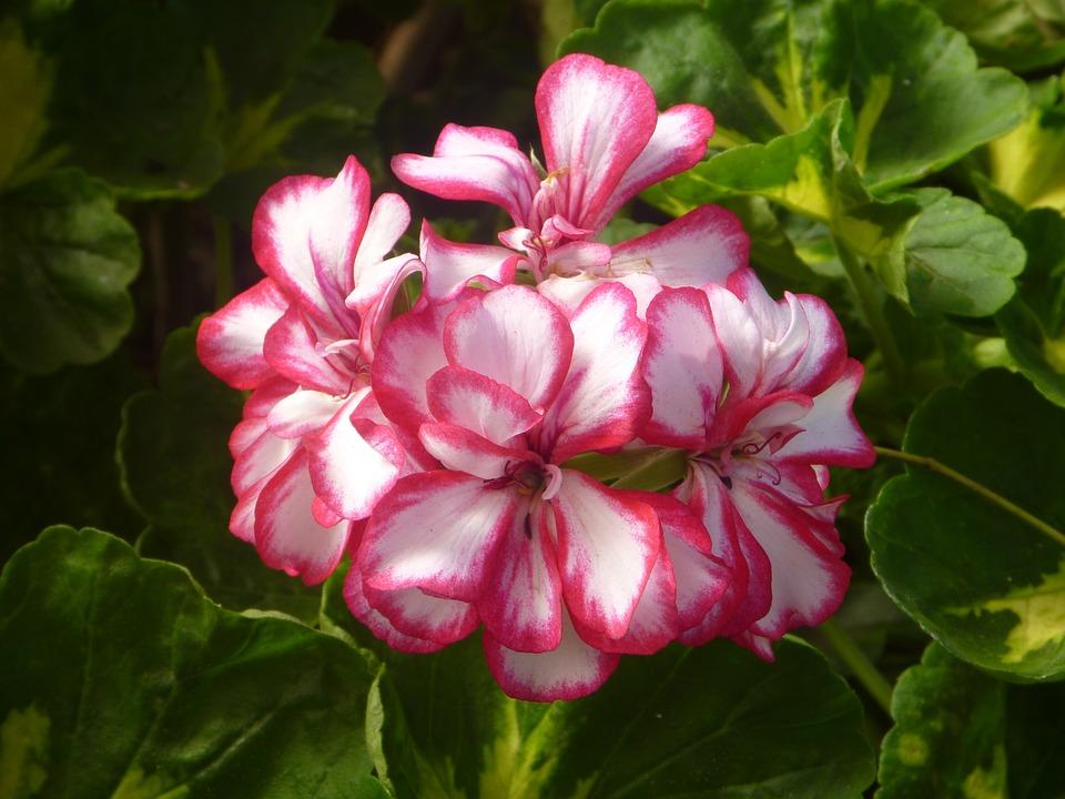 Flowers, Geranium, Pink, White, Garden, Leaves, Floral
