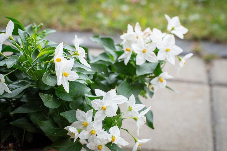 Flowers, Plant, White, White Flowers, Garden