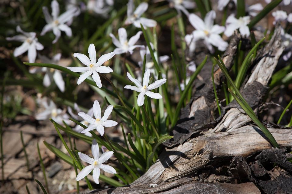 Star Hyacinth, White, White Star Hyacinths, Garden