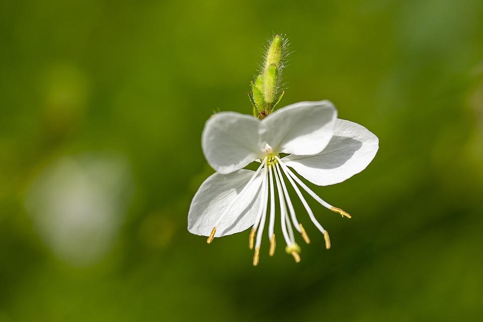 White Gaura, Flower, Plant, White Flower, Petals, Buds