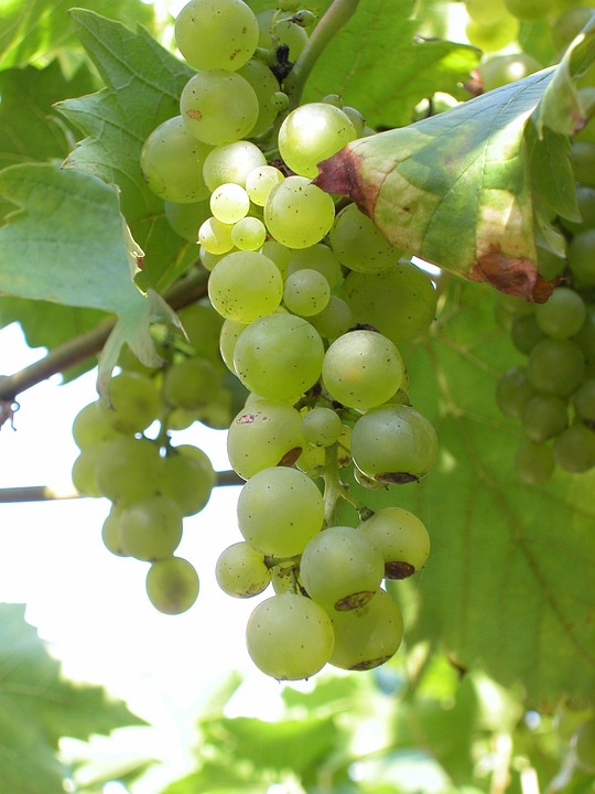 White Grapes, Bunches, Grapes