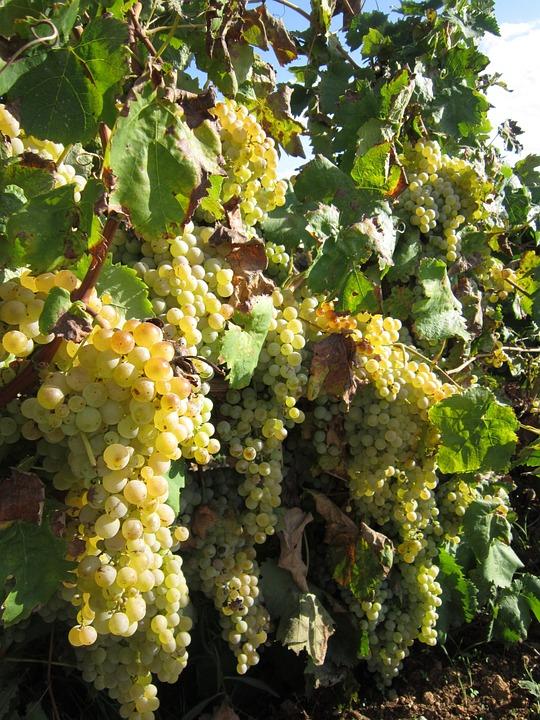 Grapes, White Grapes, Sweet, Sun, Summer, Mediterranean