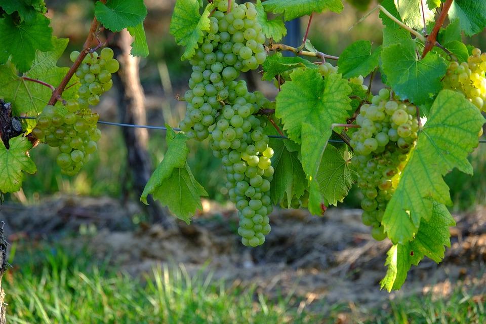 Grapes, White Grapes, Wine, Fruit, Vine, White, Sweet