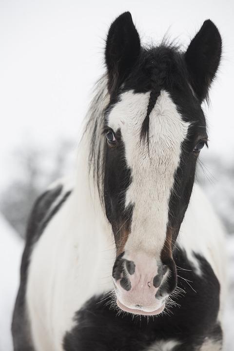 Horse, White, Black, Grasshopper, Stallion, Irish Cob