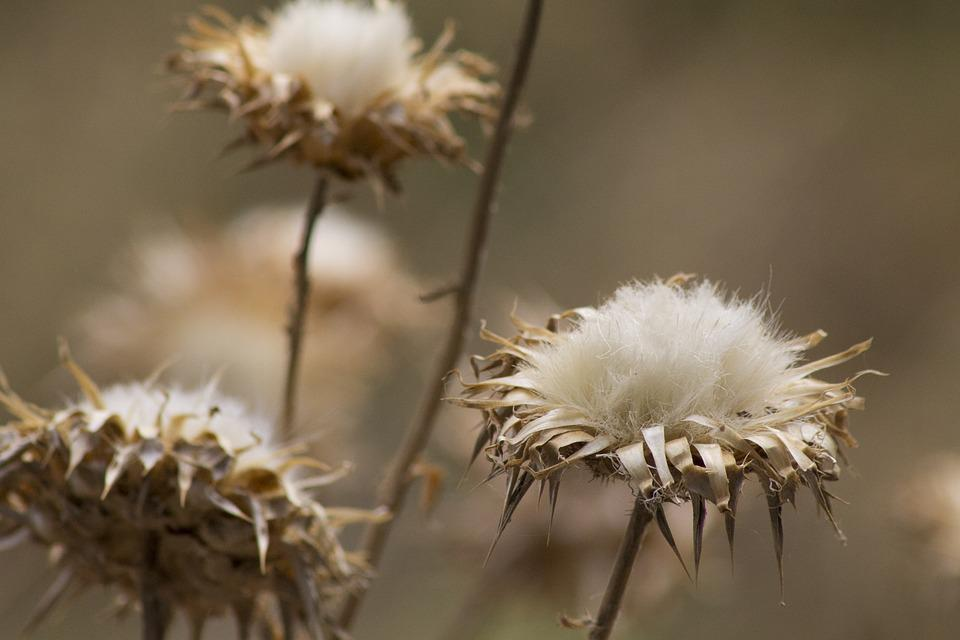 Flowers, Cotton, Brown, White, Nature, Natural, Growth