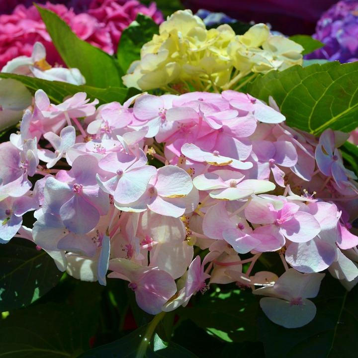 Free photo white hydrangea purple garden pink flower bush max pixel hydrangea purple pink white flower bush garden mightylinksfo