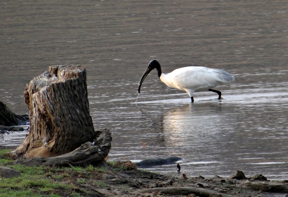 White Ibis, Ibis, Bird, Wader, Shore Bird, Water Bird