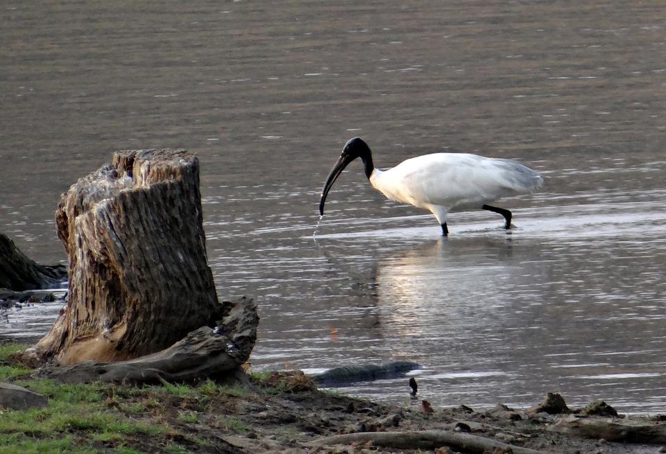 White Ibis, Ibis, Bird, Wader, Shore Bird, Water Bird