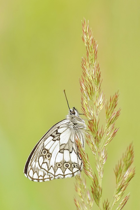 Butterfly, Insect, Macro, Fauna, Animal, White, Nature