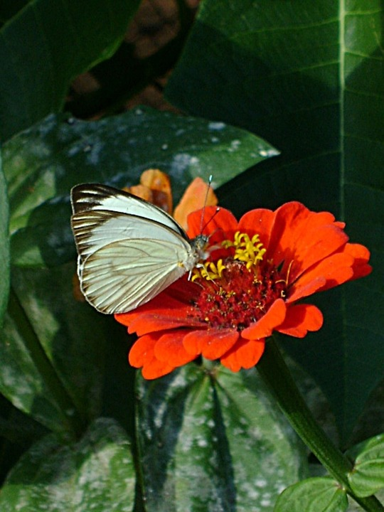 Butterfly, White, Flower, Red, Insect