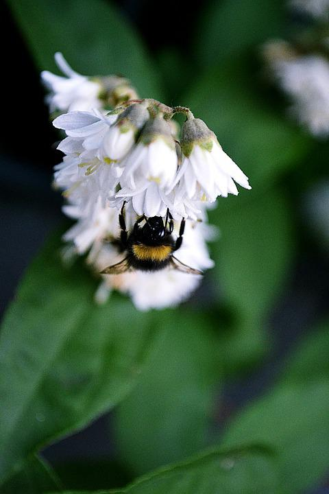 Flowers, White, Bumblebee, Bee, Nature, Animal, Insects