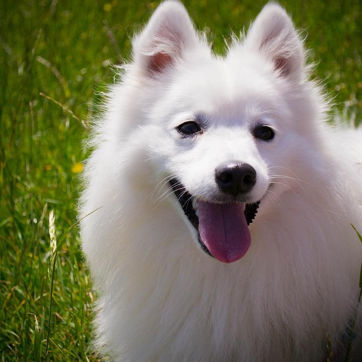 Dog, White, Smile, Fluffy, Japanese Spitz, Animal, Pet