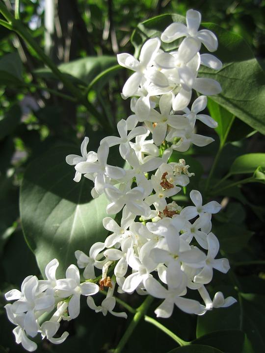 Plant, Jasmin, Flowers, White