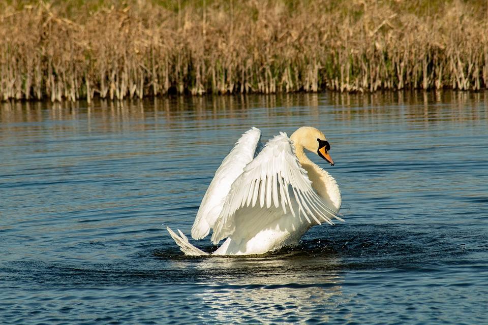 Swan, Bird, White, Water, Animals, Lake, Plumage, Swim
