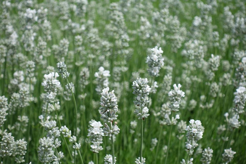 Lavender, White Lavender, Flowers, Lavender Field