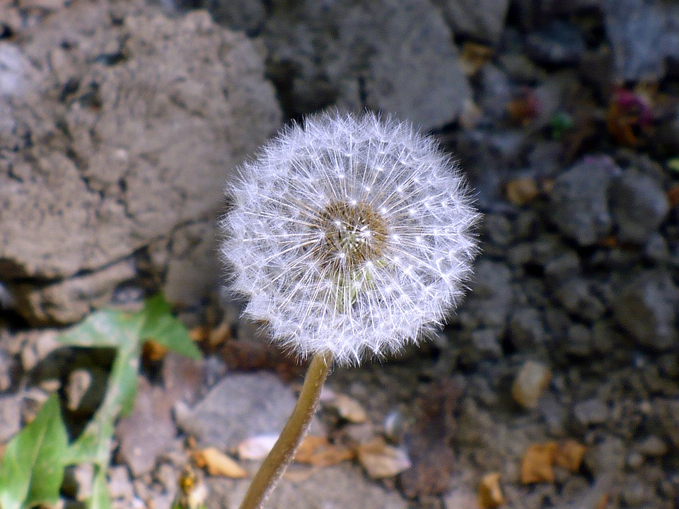 Free photo white light seed dandelion flower max pixel dandelion light white seed flower mightylinksfo