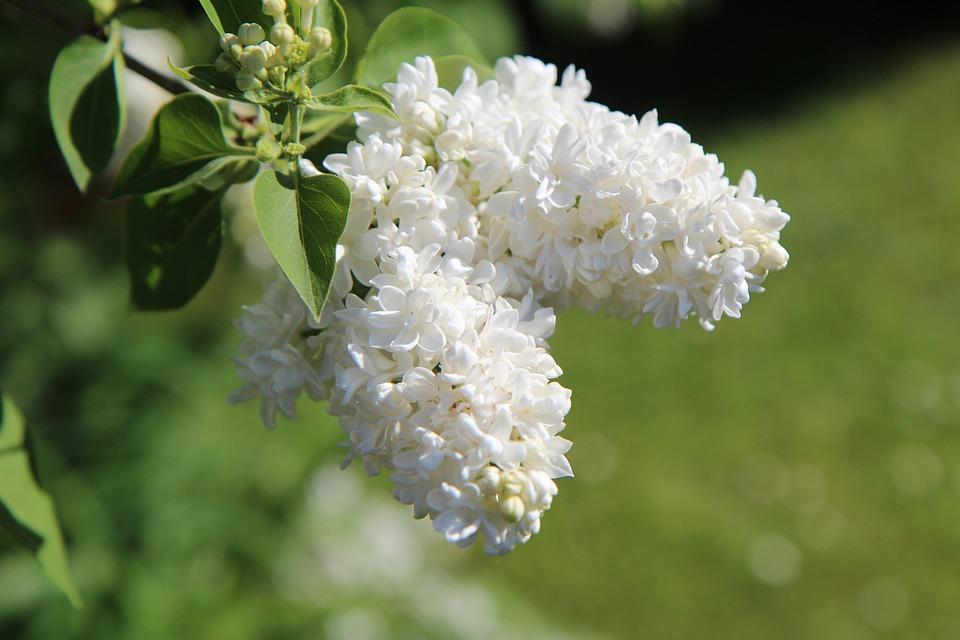 Lilac, White Lilac, Lilac Flower, Shrub, Spring