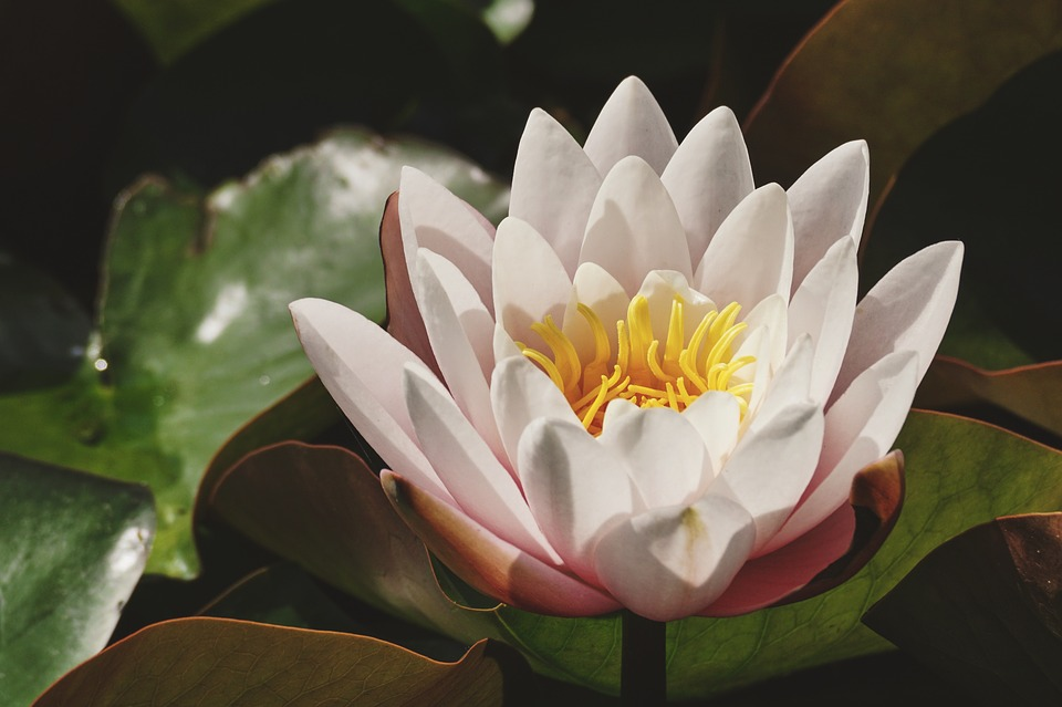 Water Lily, White Lily, Pond, Blossom, Bloom, Flower