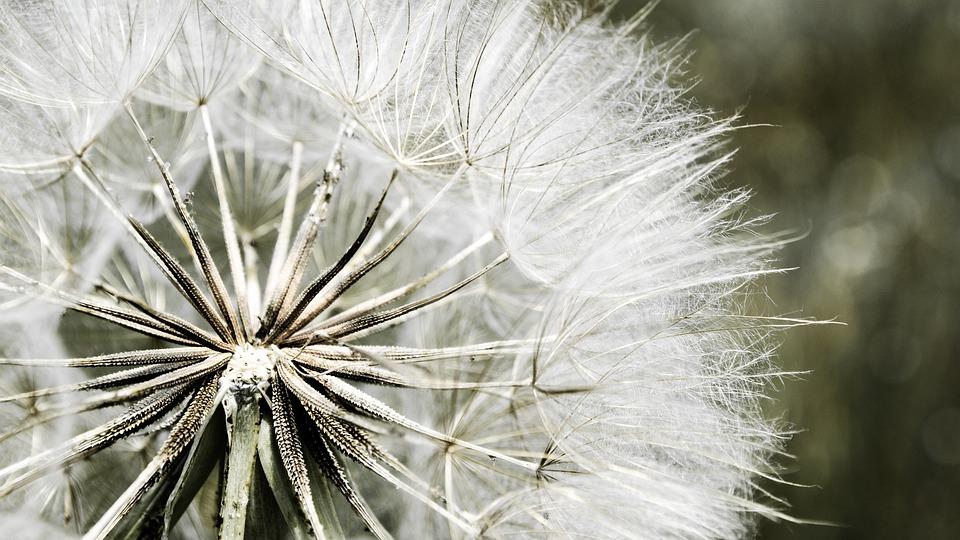 Dandelion, Nature, Flora, White, Natural, Wind, Macro