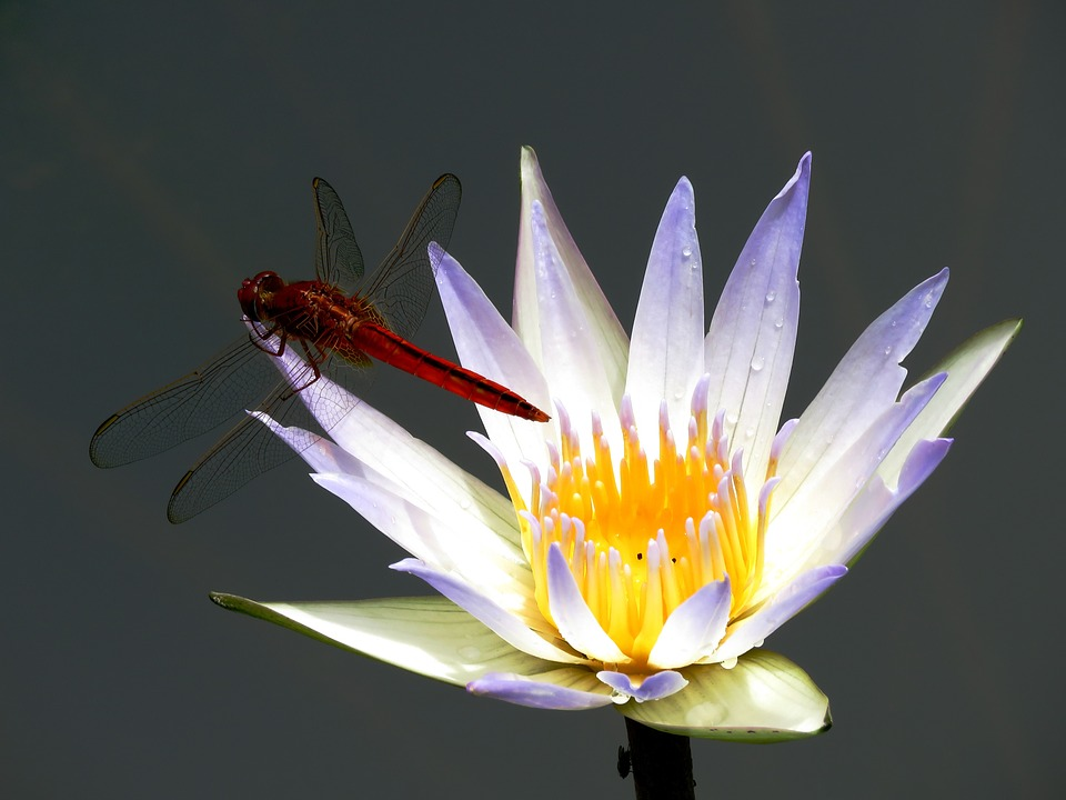 Lily Flower, Dragon Fly, White, Lake, Macro, Wings