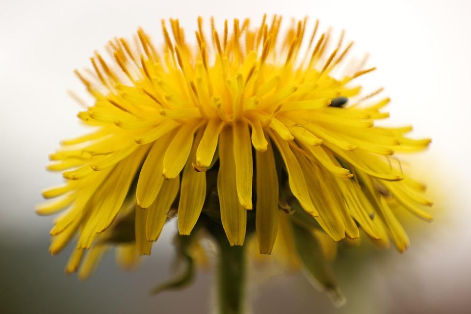 Dandelion, Faded, Yellow, White, Macro, Close
