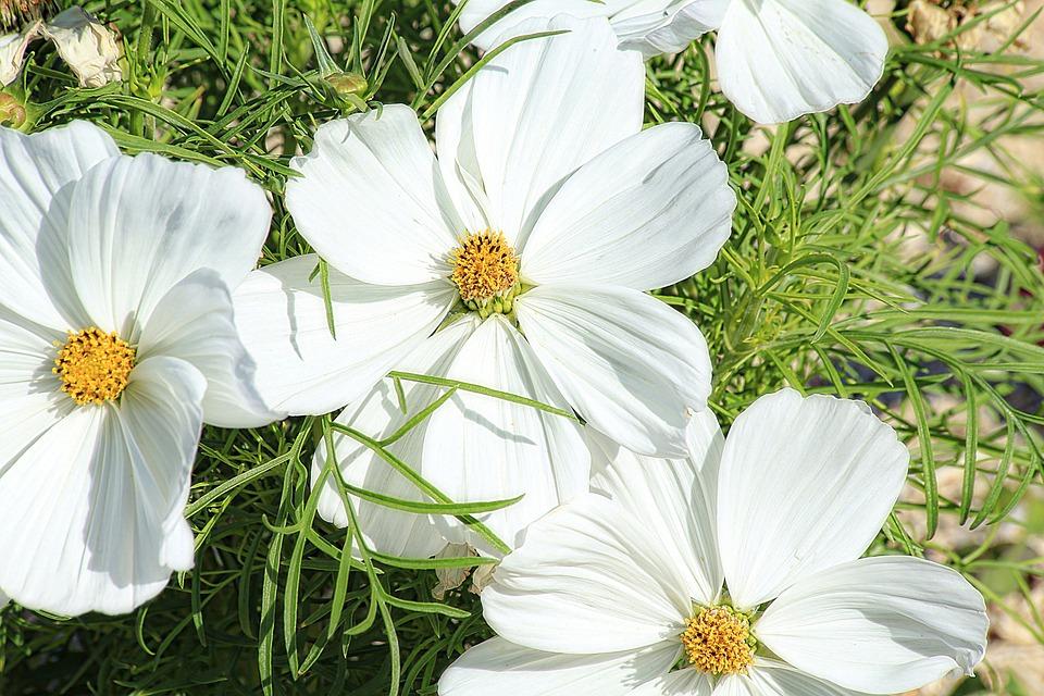 Margueritte, Flower, White, Petals, Macro, Nature