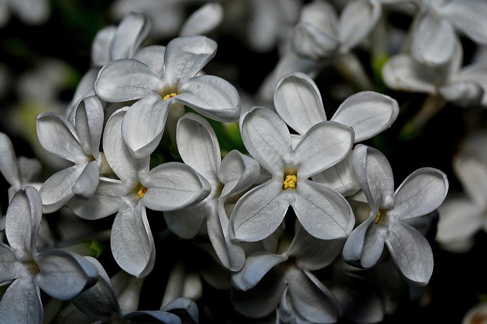 Syringa, Plant, Nature, White, Flower, Flora, Macro
