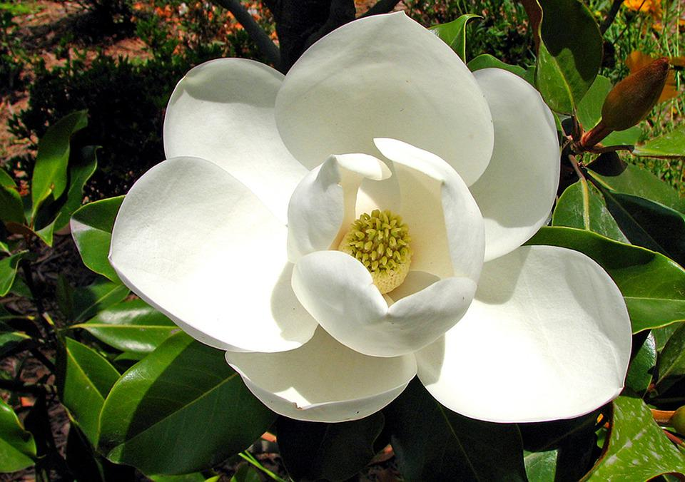 Magnolia, Macro, White, Nature, Blossom, Bloom, Flower