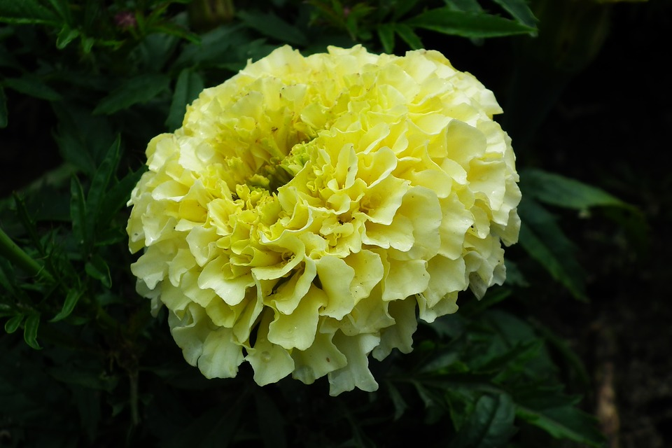 Free Photo White Marigold Nature A Garden Plant Flower Max Pixel