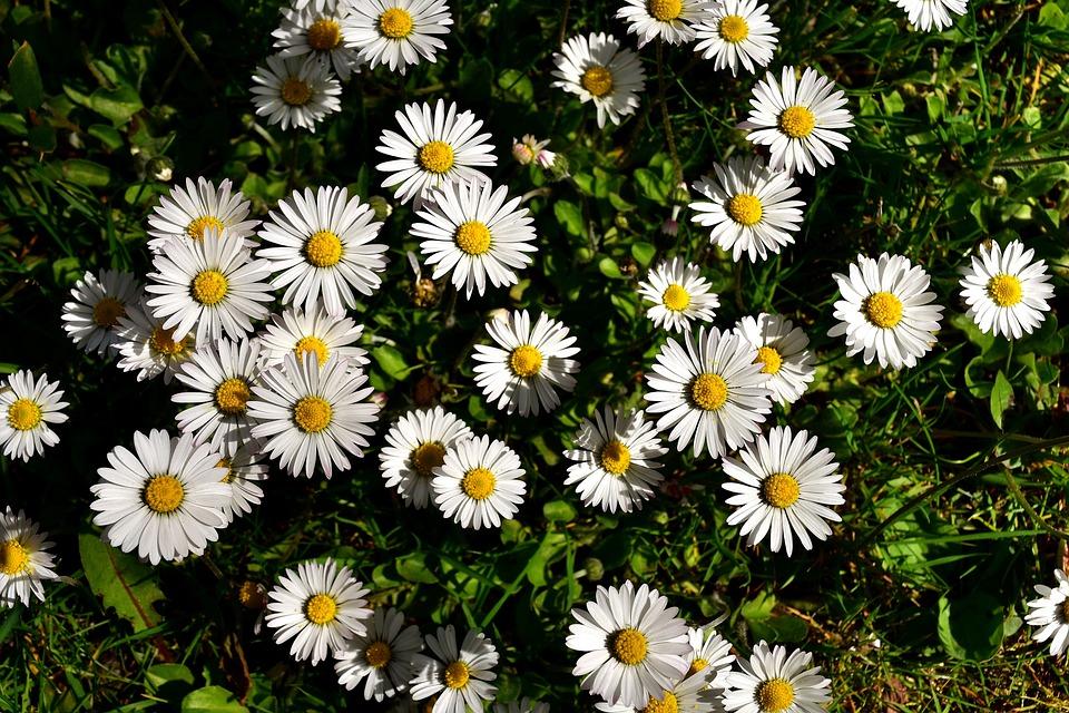 Free photo white meadow spring nature daisy flowers bloom max pixel daisy meadow bloom flowers spring nature white mightylinksfo